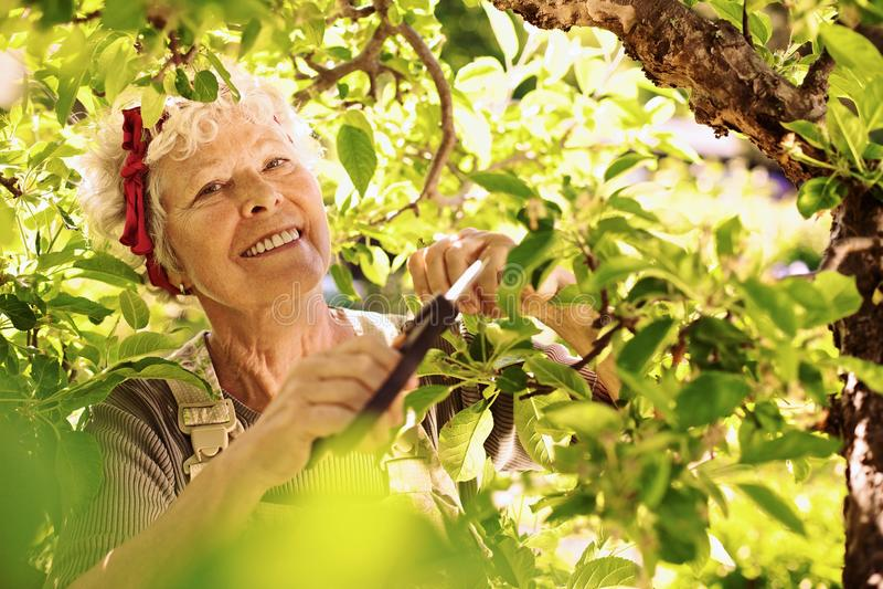 Hög kvinna som beskär trädet i trädgård royaltyfri bild