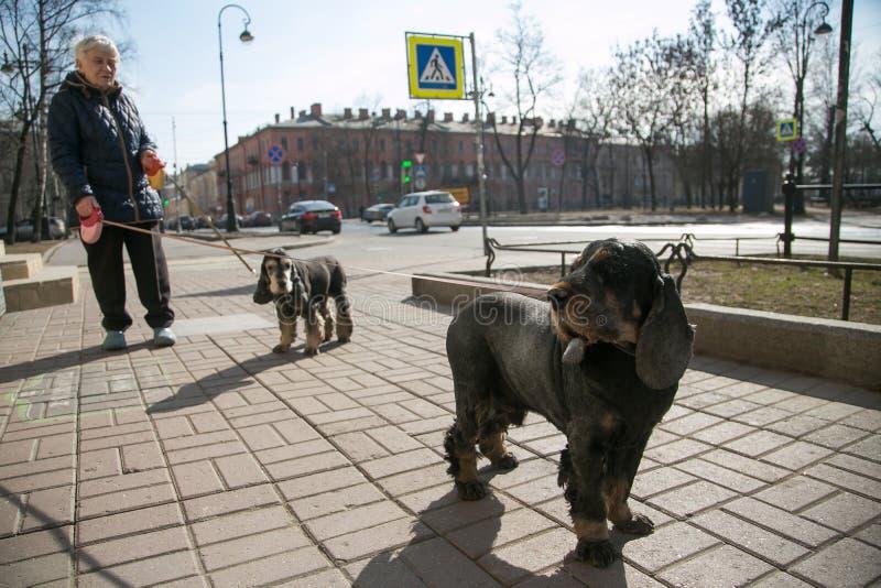Hög kvinna som går hennes två hundkapplöpning i staden royaltyfri fotografi