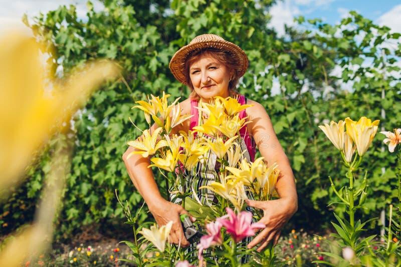 Hög kvinna som kramar blommor i trädgård Medelåldersa trädgårdsmästareklippliljor av med pruner arbeta i tr?dg?rden f?r begrepp royaltyfri foto