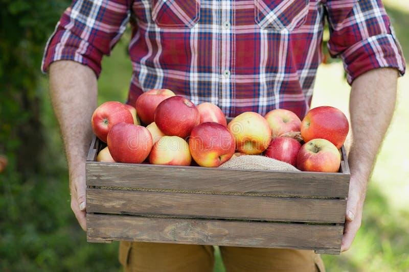 Hög man med Apple i den Apple fruktträdgården arkivfoto