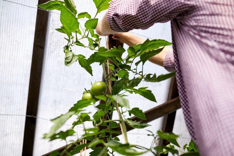 Hög man som binder upp tomatplanta på växthuset royaltyfria bilder