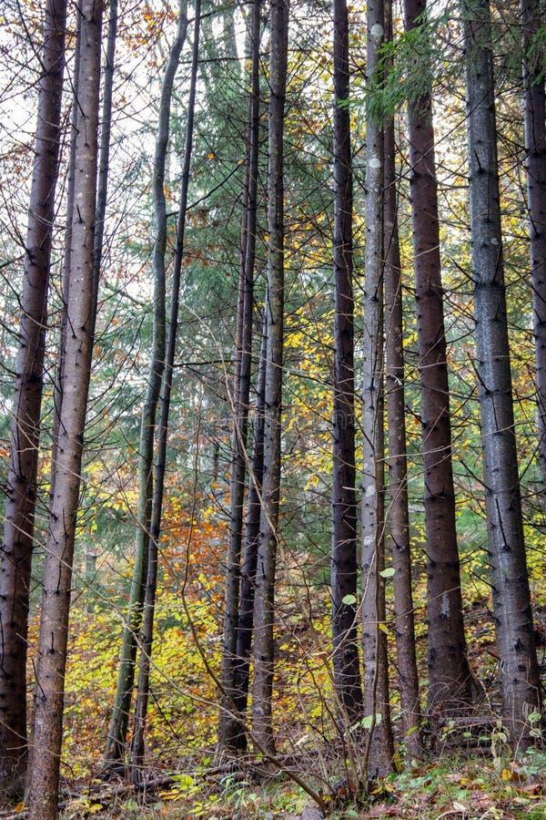 Hög skog med lövträd och barrträd under hösten royaltyfri foto