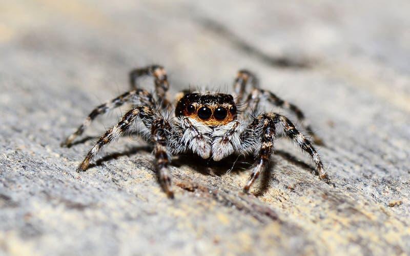 hög spindel för foto för banhoppningmakroförstoring royaltyfri foto