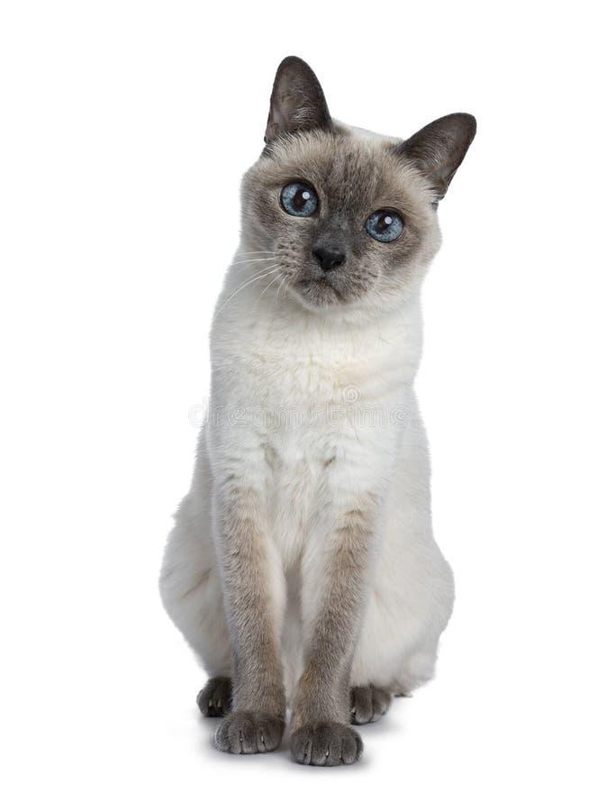 Hög thailändsk katt för blå punkt som isoleras på vit bakgrund royaltyfri foto