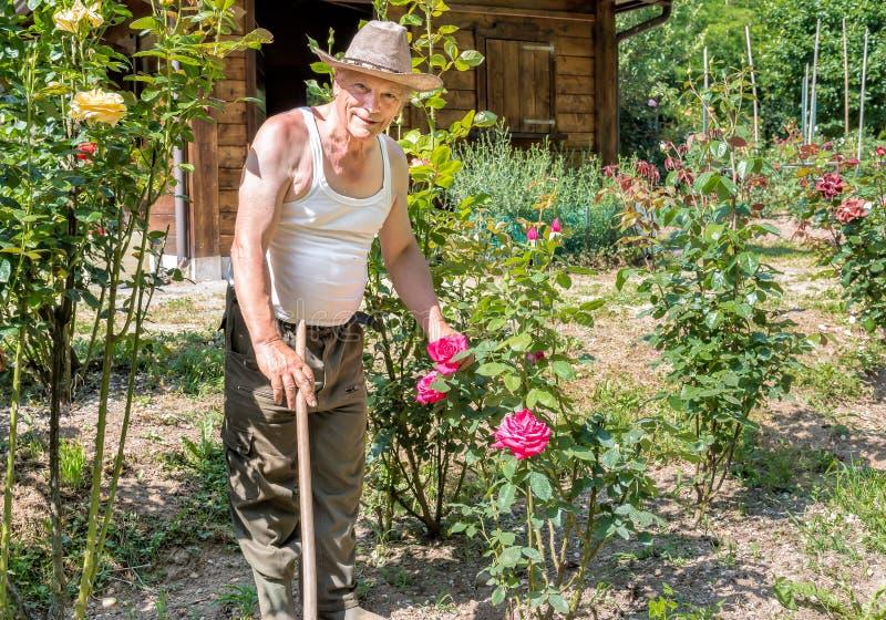 Hög trädgårdsmästare med rosor i trädgården fotografering för bildbyråer