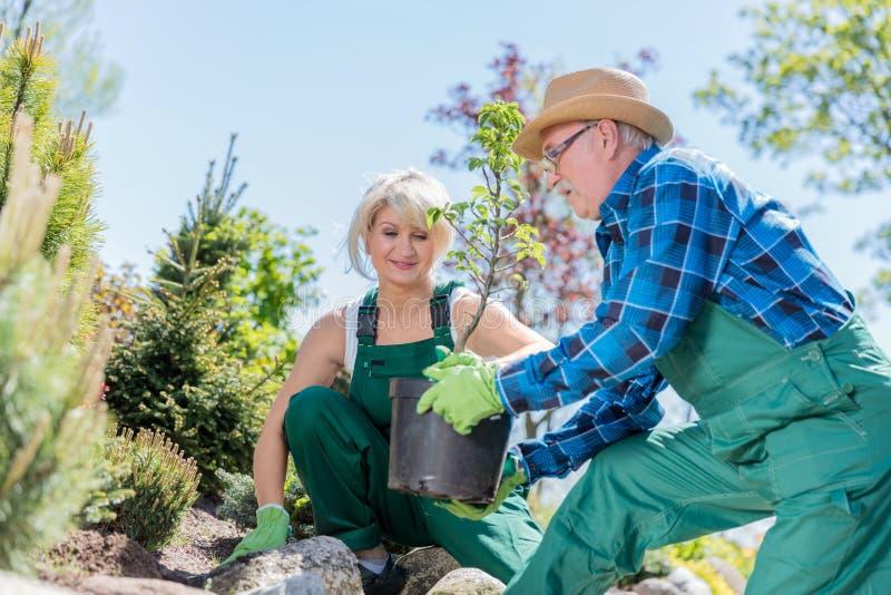 Hög trädgårdsmästare och hans assistent som planterar ett träd royaltyfri bild