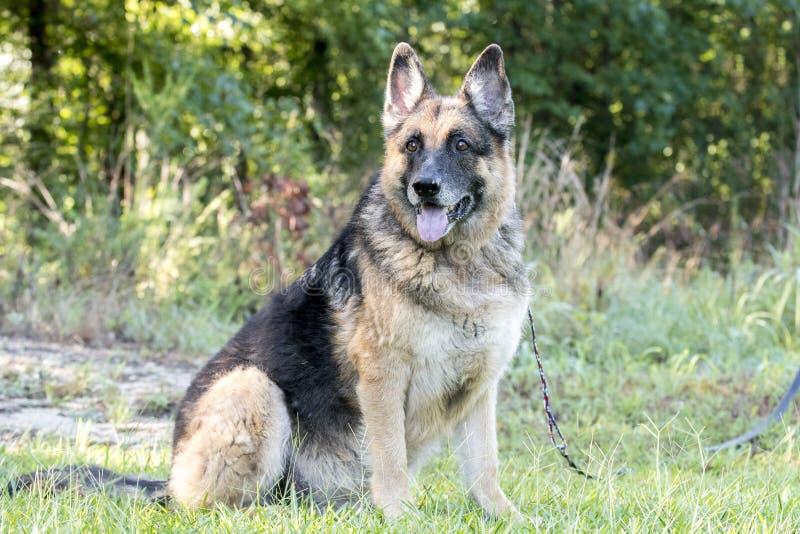 Hög tysk herde Dog som sitter utanför på koppeln arkivfoton