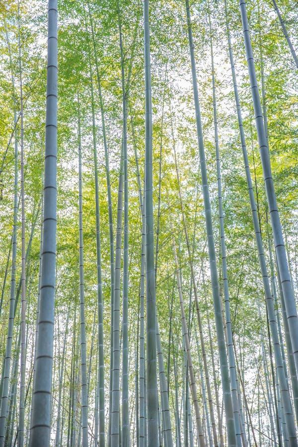 Hög vertikal bambudungeskog i Arashiyama royaltyfria bilder