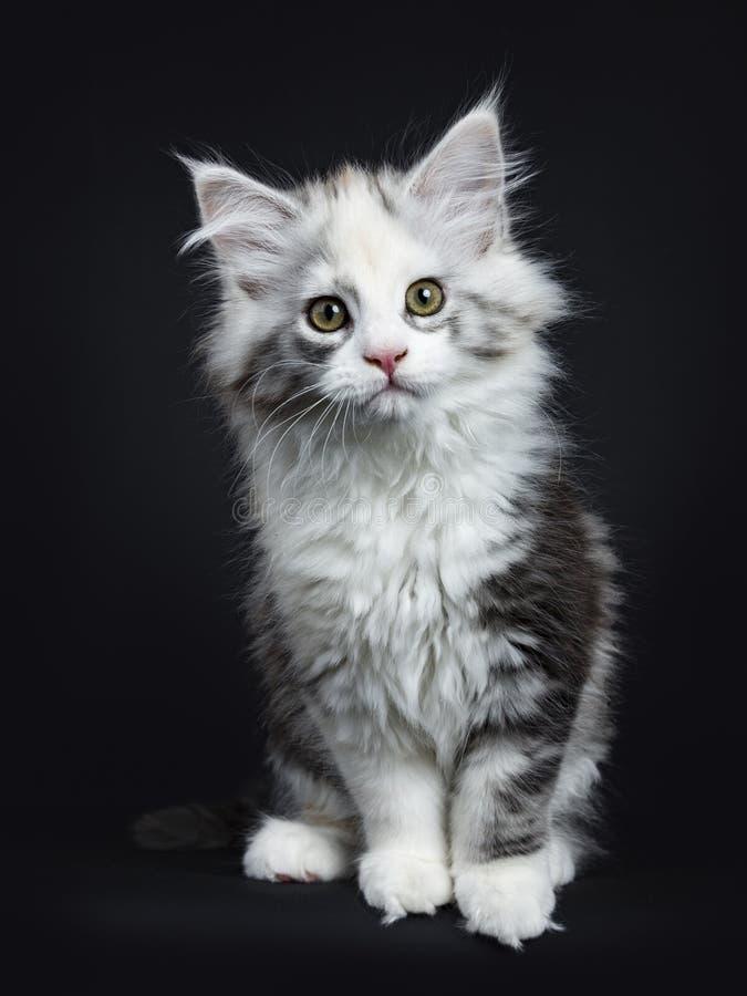 Hög vit kattunge för tortieMaine Coon flicka royaltyfri fotografi