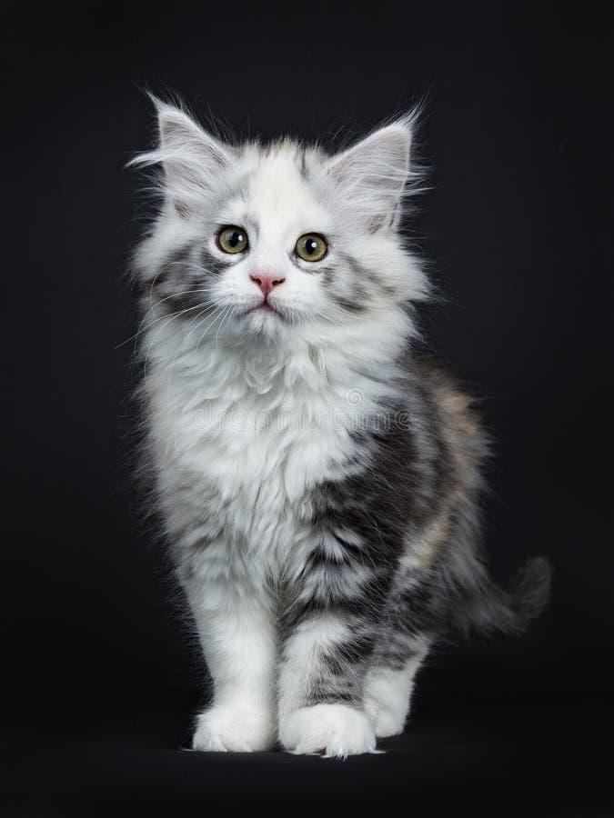 Hög vit kattunge för tortieMaine Coon flicka fotografering för bildbyråer