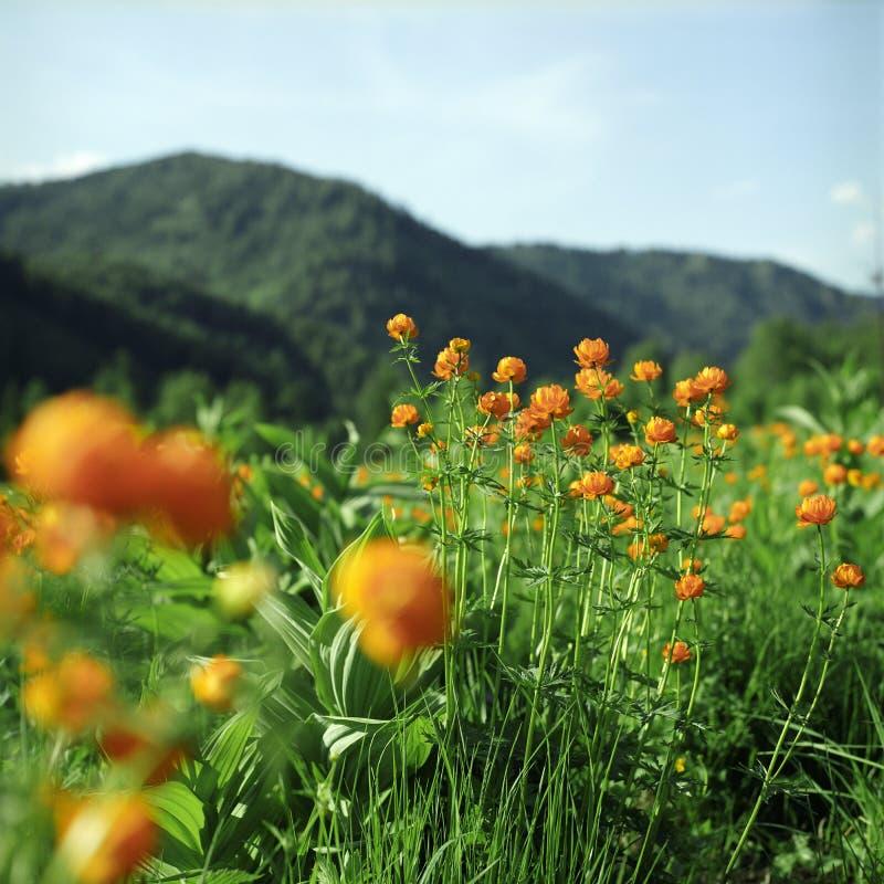 höga berg för blommor royaltyfria foton