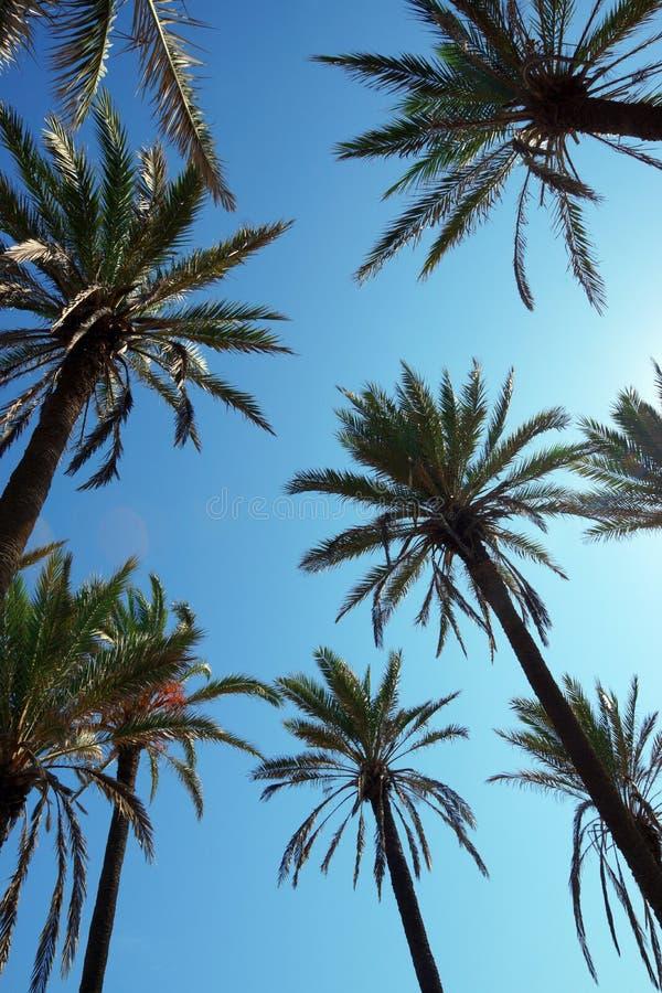 Höga datumpalmträd mot bakgrunden av den soliga blåa himlen fotografering för bildbyråer