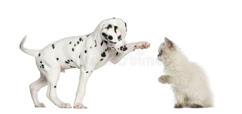 Höga-fiving valp och kattunge royaltyfria foton