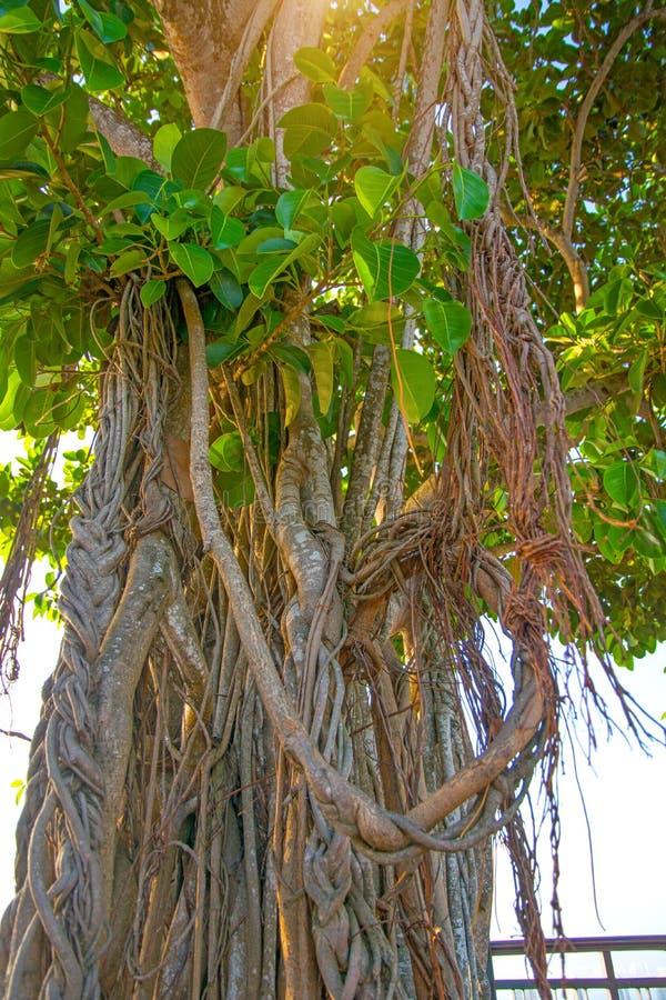 Höga gamla träd med rotar att hänga ner från över blomningträd med rotar från rastret tropiskt arkivfoto