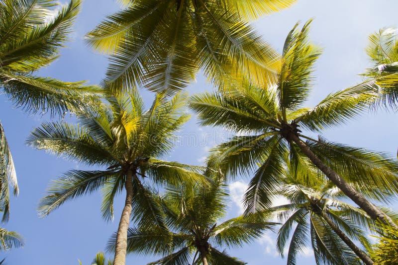 Höga gröna palmträd royaltyfria bilder