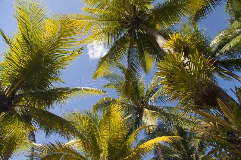 Höga gröna palmträd royaltyfri foto