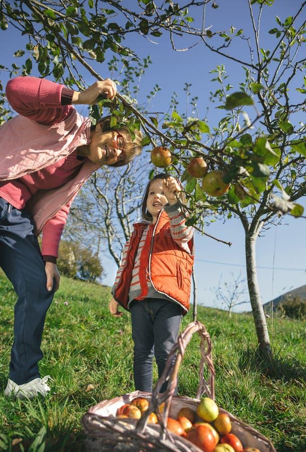 Höga kvinna- och liten flickaplockningäpplen från träd fotografering för bildbyråer