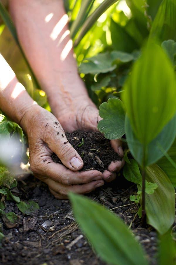 Höga kvinnlighänder som ger gödningsmedel till växter arkivbild