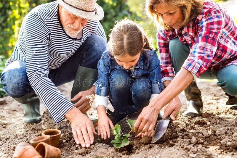 Höga par med grandaughter som arbeta i trädgården i trädgården, arbeta i trädgården royaltyfri foto