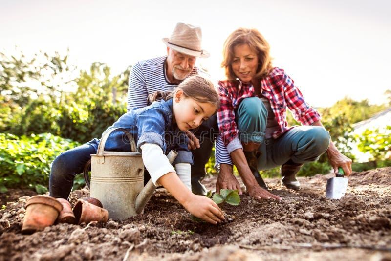 Höga par med grandaughter som arbeta i trädgården i trädgården, arbeta i trädgården arkivbild