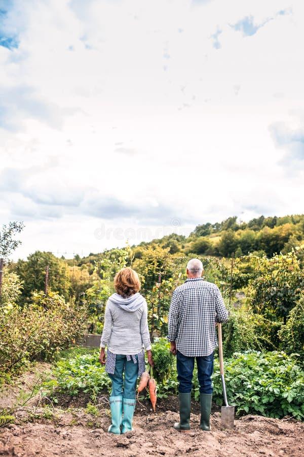 Höga par som arbeta i trädgården i trädgårdträdgården royaltyfri foto