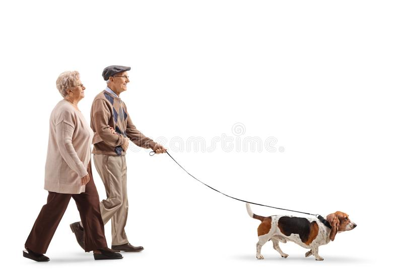 Höga par som går en bassethundhund royaltyfria foton