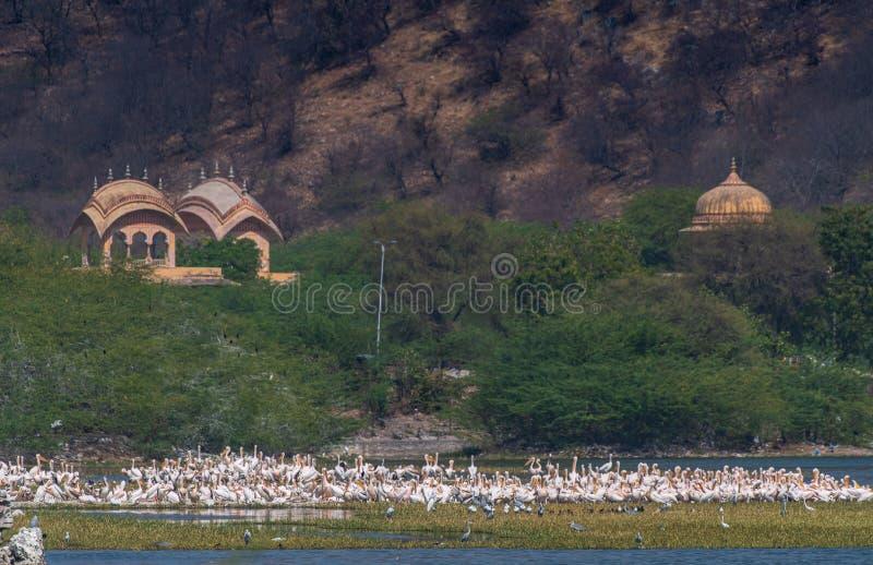 Höga vinkelskott på pelicans insamlade nära sjön Man Sagar i Jaipur, Indien royaltyfri fotografi