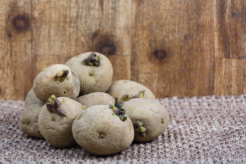 Högen av kärnar ur att spira för potatisar royaltyfria bilder