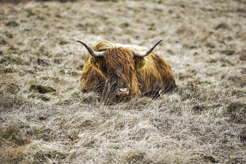 Höglands- ko på ojämn jordbruksmark, maximal områdesnationalpark, Derbyshire, UK fotografering för bildbyråer