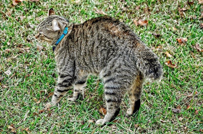 Höglands- lodjur Cat Ready som ska slåss arkivbild