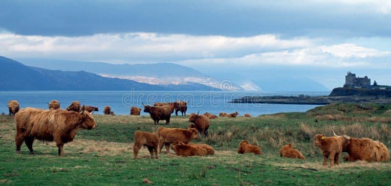 Höglands- nötkreatur Skottland arkivbild