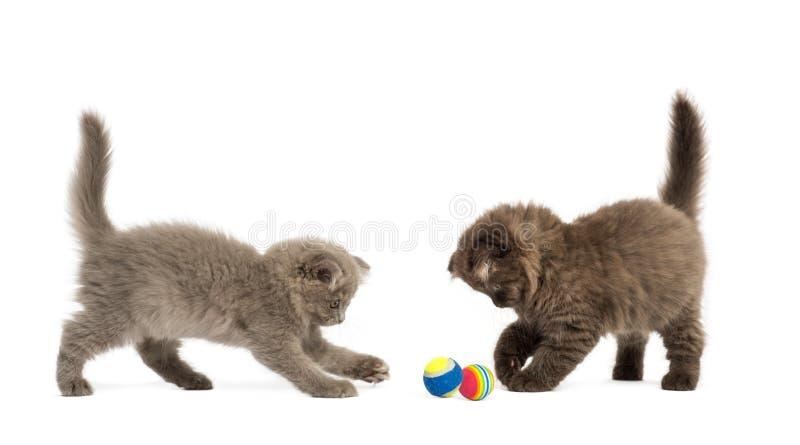 Höglands- veckkattungar som spelar samman med bollar, royaltyfri fotografi