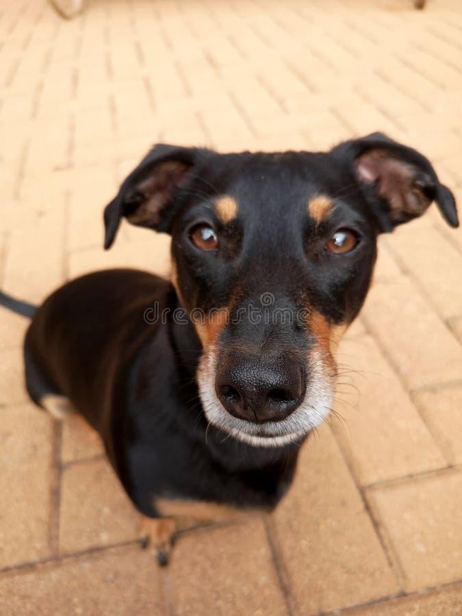 Högstämd vinkel av den lilla gulliga svarta hunden royaltyfri bild