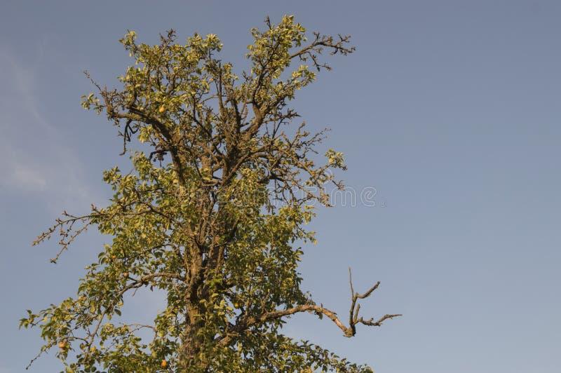 Högt, gammalt ensamt päronträd arkivfoton