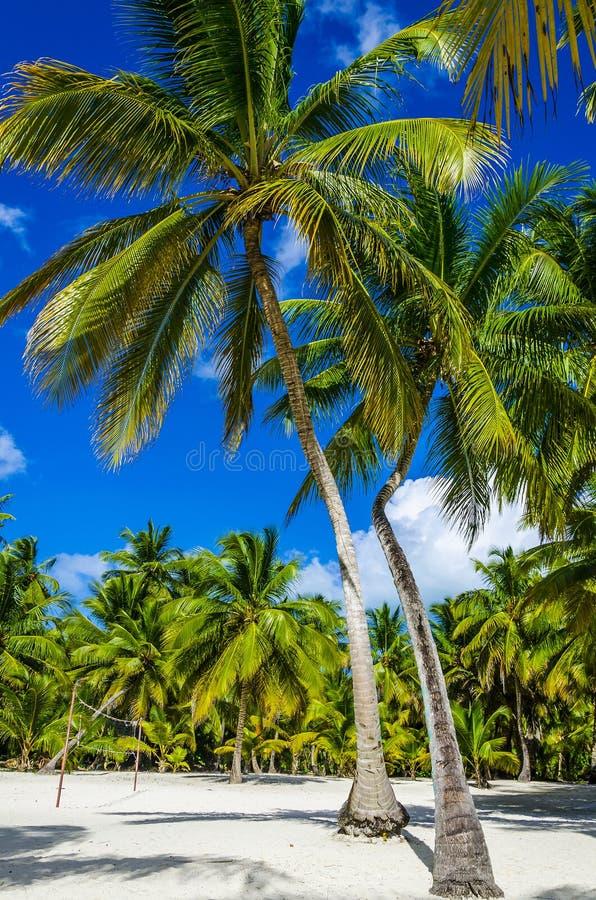 Högt kungligt gömma i handflatan på den sandiga karibiska stranden fotografering för bildbyråer