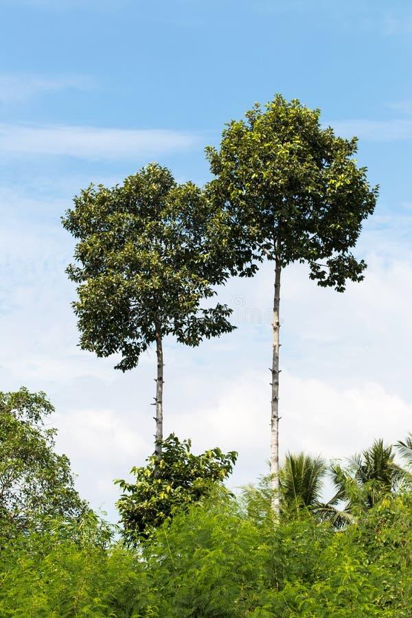 Högt särskiljande gummiträd royaltyfri bild