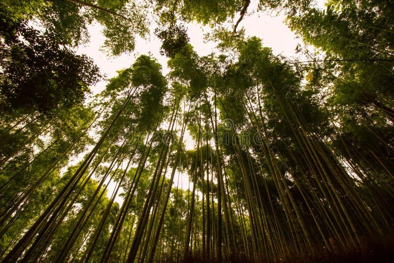 Högväxt bambu, en bambulantgård i den Japan skogen av Kyoto som tjusar dragningar av denna bambuskog royaltyfri bild
