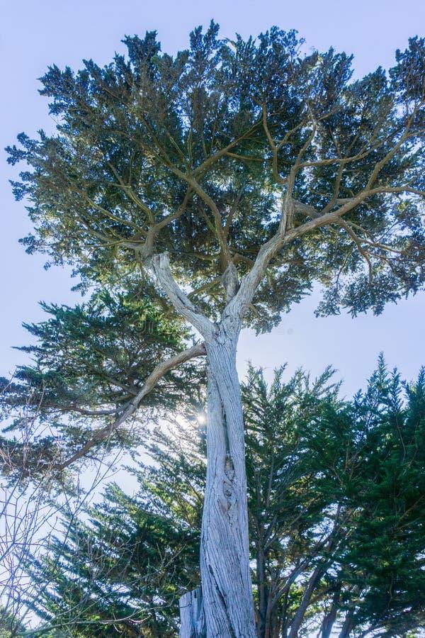 Högväxt cypressträd, Half Moon Bay, Kalifornien royaltyfria bilder