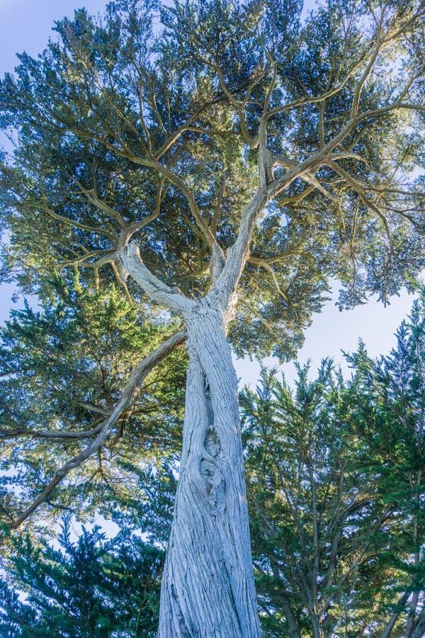 Högväxt cypressträd, Half Moon Bay, Kalifornien arkivbilder