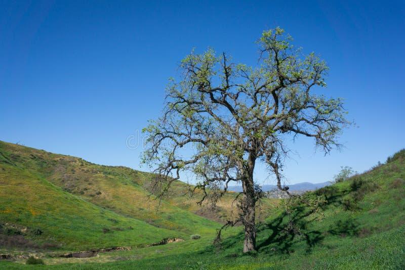 Högväxt ek i den gröna dalen royaltyfri bild