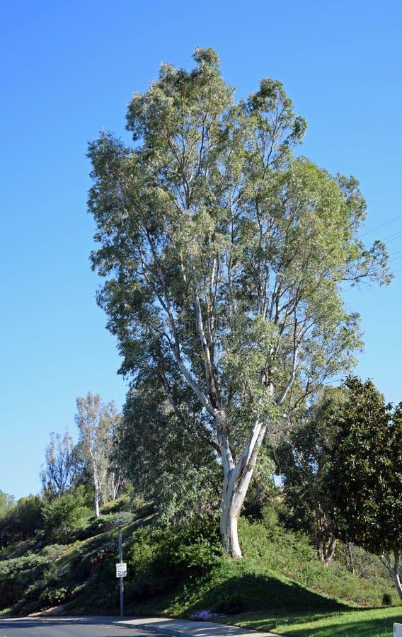 Högväxt eukalyptusträd i Laguna trän, Kalifornien arkivfoto