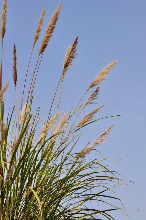 Högväxt gräs royaltyfri fotografi