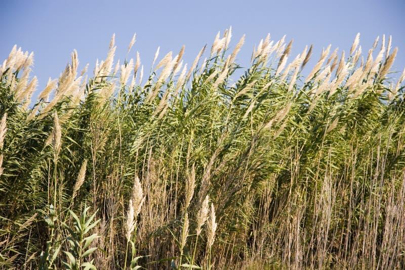 högväxt gräs long royaltyfria bilder