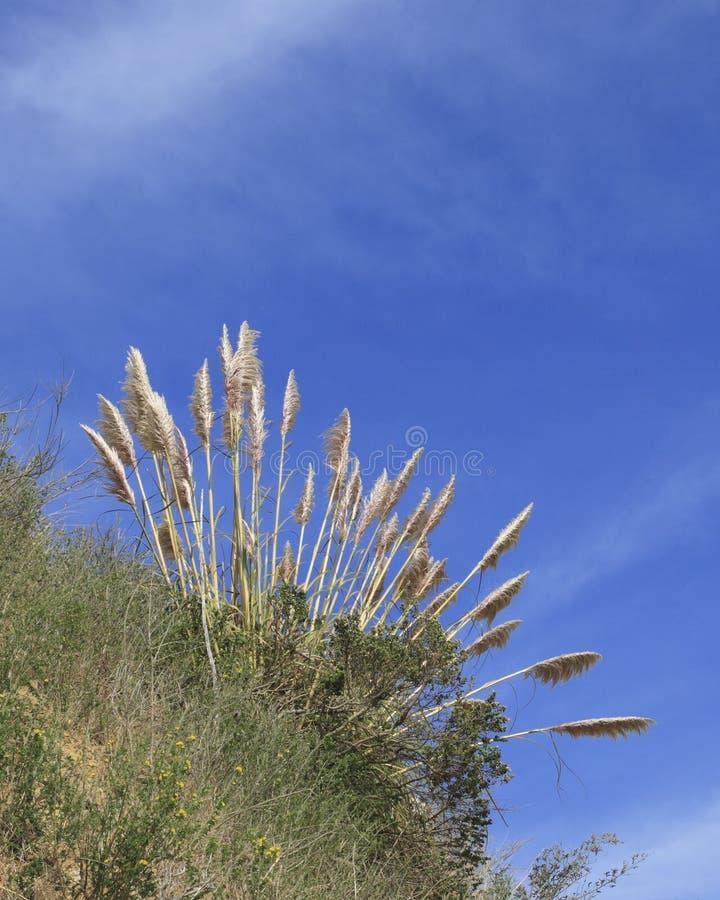 Högväxt gräs och himmel på Angel Island California arkivfoto