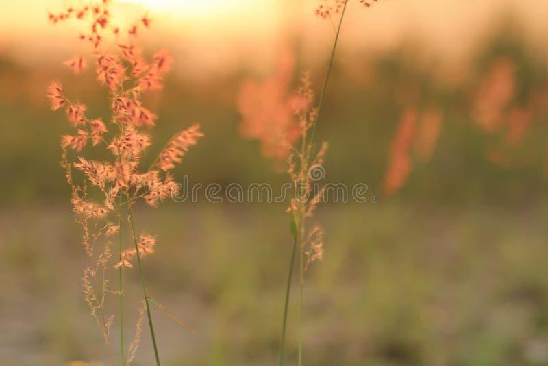 Högväxt gräs på stranden på solnedgången royaltyfri bild