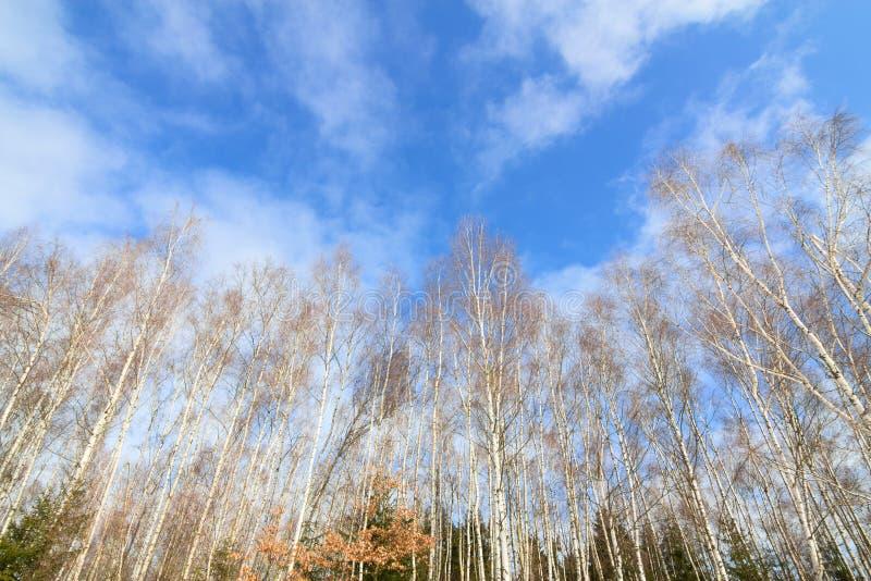 Högväxt kal skog för björkträd royaltyfria foton