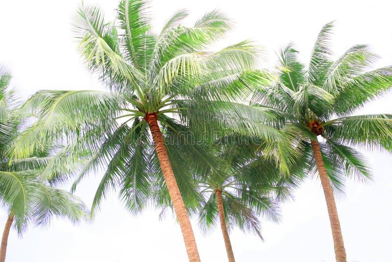 Högväxt palmträd royaltyfri bild