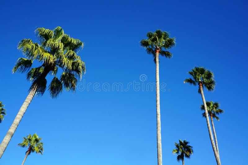 Högväxt palmträd som ser upp arkivbilder