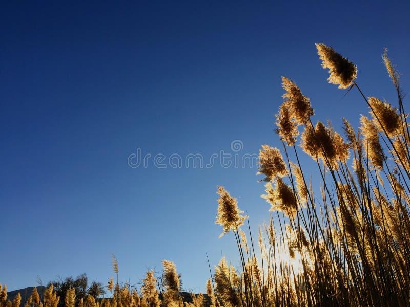 Högväxt pampasCortaderiagräs i ett fält på bakgrunden av inställningssolen och den blåa himlen Ljust soligt sommarfoto guld- öra arkivbild