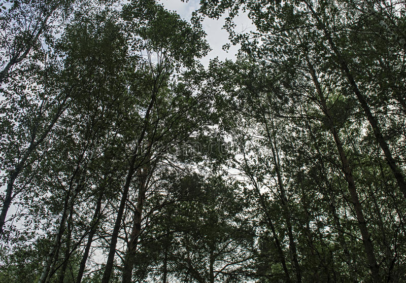Högväxt sörja träd på bakgrund av blå himmel arkivbilder